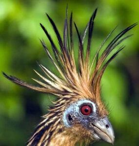 kop van de hoatzin vogel